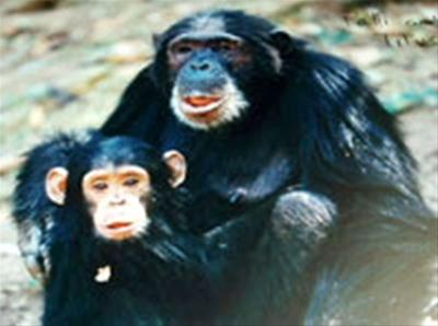 Jane Goodall and Chimpanzees